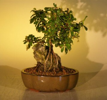 Flowering Fukien Tea Bonsai Tree Root Over Rock Style Ehretia Microphylla