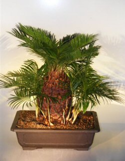Sago Palm Bonsai Tree (With Many Babies)<br><i>(cycas revoluta)</i>