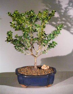 japanese holly bonsai tree ilex crenatadwarf pagoda. Black Bedroom Furniture Sets. Home Design Ideas