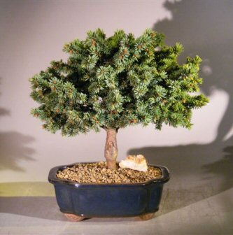 Blue Spruce Bonsai Tree Picea Pungens Mrs Cesarini