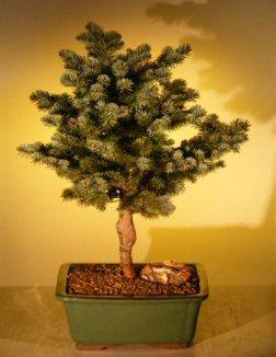 Colorado Blue Spruce Bonsai Tree Picea Pungens Montgomery