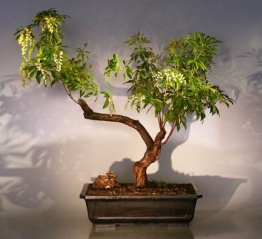 Flowering Japanese Andromeda Bonsai Tree(pieris japonica ...