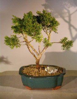 Shimpaku Bonsai Tree - Large (shimpaku itoigawa) Image