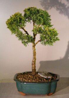 Shimpaku Juniper Bonsai Tree(juniperus chinensis)