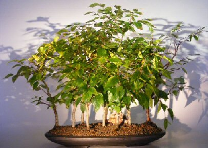 Rock Hornbeam Bonsai Tree  (carpinus turczaninovii)