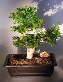 Flowering Fukien Tea Bonsai Tree Ehretia Microphylla