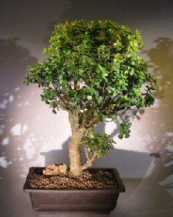 Image: Baby Jade  Bonsai Tree (Portulacaria Afra)