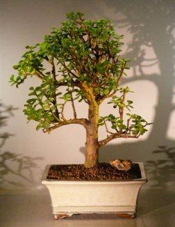 Baby Jade Bonsai Tree Portulacaria Afra Bonsai Trees Tools