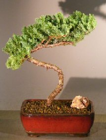 Image: Juniper Bonsai Tree (juniper procumbens nana)