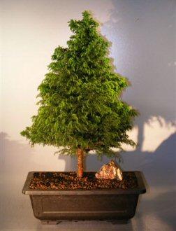 Cryptomeria Bonsai Tree(japonica - tansu)