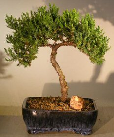 Image: Juniper Bonsai Tree (juniper procumbens nana)