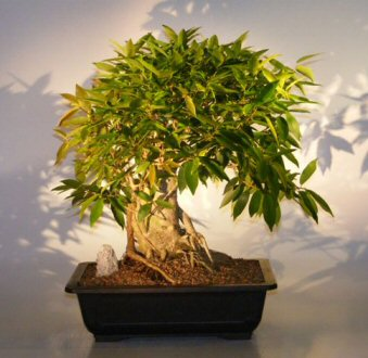 Willow Leaf Ficus Bonsai Tree Ficus Nerifolia Salicafolia