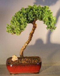Image: Juniper Bonsai Tree (juniper procumbens 'nana')