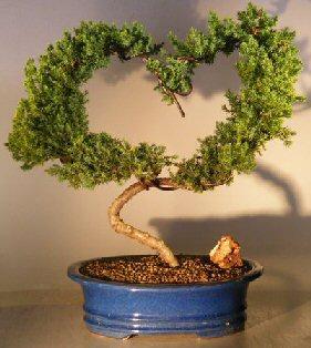 Image: Juniper Bonsai Tree (juniper procumbens 'nana')