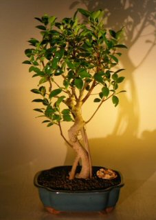 Image: Ficus Bonsai Tree with Curved Trunk and Banyan Roots (ficus benjamina)
