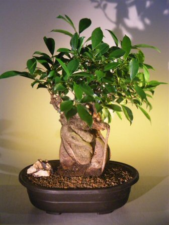 ginseng ficus bonsai tree banyan style. Black Bedroom Furniture Sets. Home Design Ideas