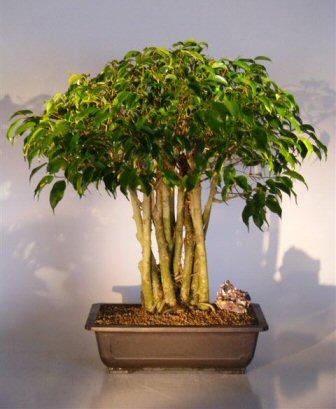 ficus bonsai treeforest group ficus benjamina. Black Bedroom Furniture Sets. Home Design Ideas