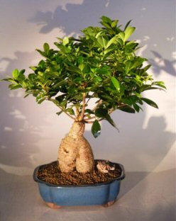 ginseng ficus bonsai tree ficus retusa. Black Bedroom Furniture Sets. Home Design Ideas