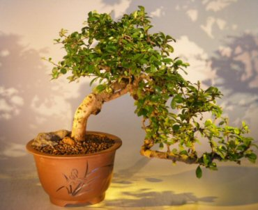 Flowering Fukien Tea Bonsai Tree Cascade Style Ehretia Microphylla