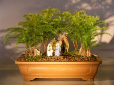 Norfolk Island Pine Bonsai Rock Landscape Forest Group