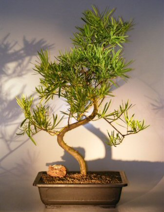 Artificial Bonsai Tree on Flowering Podocarpus Bonsai Tree Podocarpus Macrophyllus