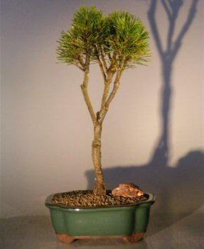 Image: Mugo Pine (pinus mugo woods pillar)