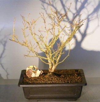 Flowering Top Hat Blueberry Bonsai Tree Vaccinium Corymbosum Argustifolium