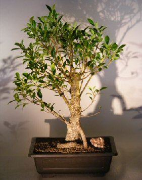 Ficus Retusa Bonsai Tree With Banyan Roots Ficus Retusa