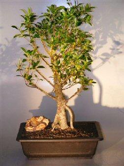 Image: Ficus Retusa Bonsai Tree with Banyan Roots (ficus retusa)