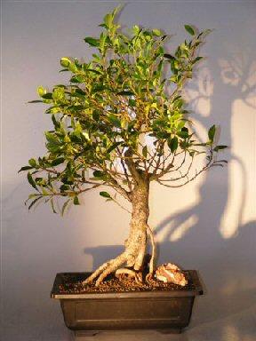 Ficus Retusa Bonsai Tree Banyan Style Ficus Retusa
