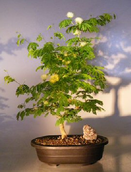 Flowering Brazilian Raintree Bonsai Tree