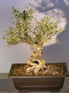 Image: Flowering Dwarf Yaupon Holly (ilex vomitoria 'Schelling's Dwarf')