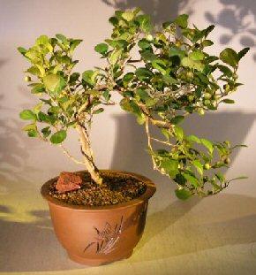 Image: Mistletoe Fig - Cascade Style (ficus diversifolia)