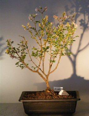 Dwarf Korean Lilac Bonsai Tree Syringa Palabiniana