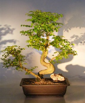 Artificial Bonsai Tree on Flowering Ligustrum Bonsai Tree Ligustrum Lucidum