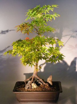 Japanese Maple Bonsai Tree Root Over Rock Styleacer Palmatum