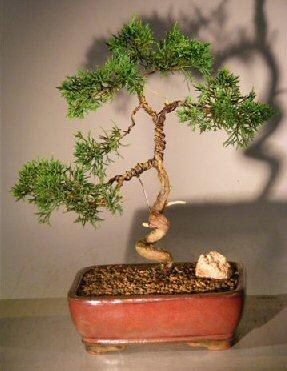 Shimpaku Juniper Bonsai Tree Trained Juniper Chinensis