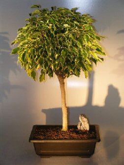 Ficus Bonsai Tree Variegated Ficus Benjamina