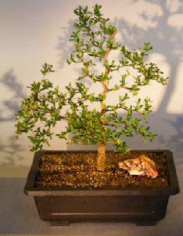 Image: Dwarf Black Olive (bucinda spinosa)