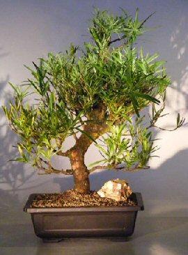Image: Podocarpus Bonsai Tree (podocarpus macrophyllus)