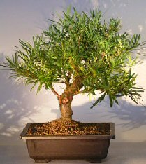 Podocarpus Bonsai Tree With Curved Trunk Podocarpus