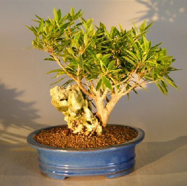 Image: Willow Leaf Ficus Bonsai Tree - Root over Rock (nerifolia/salicafolia)