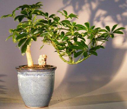 Hawaiian Umbrella Bonsai Tree Cascade Style Arboricola Schefflera