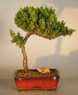 Juniper Bonsai Tree Trained Juniper Procumbens Nana Bonsai Trees Tools