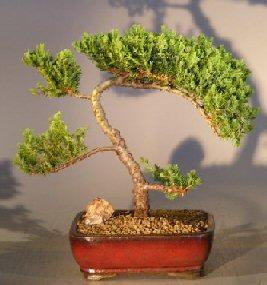 Image: Juniper Bonsai Tree - Trained  (juniper procumbens nana)