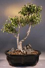 Ficus Too Little (ficus benjamina 'too little')