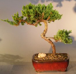 Image: Juniper Bonsai Tree - Trained  (juniper procumbens nana)