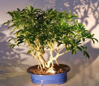 Image: Hawaiian Umbrella Bonsai Tree - Banyan Style (arboricola schfflera)