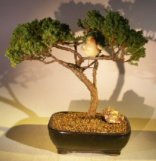 Image: Juniper Bonsai Tree - Trained with Bird  (juniper procumbens nana)