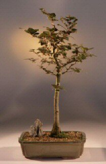 Copper Beech Bonsai Tree<br><i>(fagus sylvatica